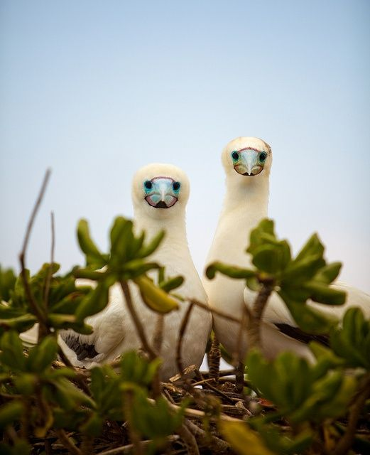 Albatross, maybe