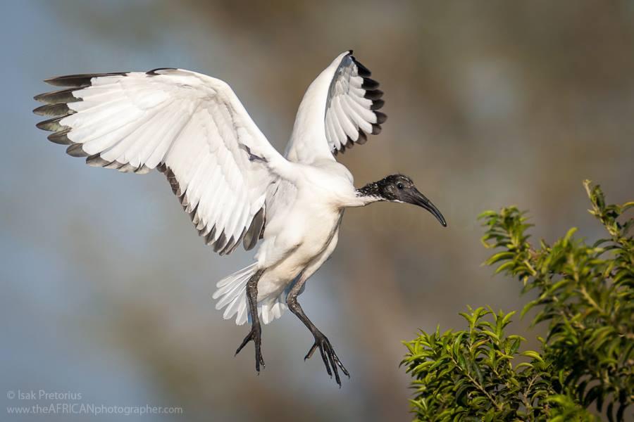 by Isak Pretorius Wildlife Photography