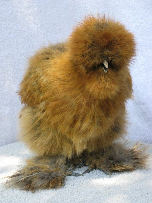 Silkie Chick also known as Tiny Sasquatch