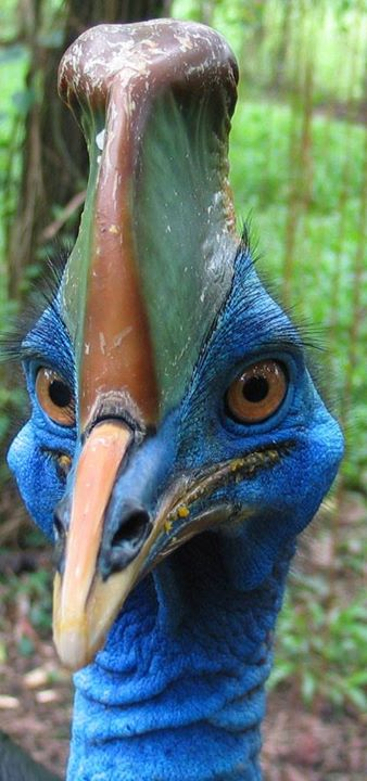 Cassowaries (ratites) are large flightless birds native to the tropical forests of New Guinea