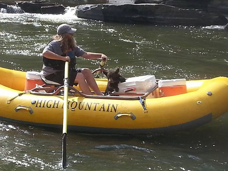 A river rafting business, USA Raft, risked thousands of dollars in fines to help bring a baby bear to safety, refusing to ignore her plea for help as she climbed aboard one of their rafts. The guide in the boat, Danny Allen, helped the bear onto the boat using a gear rig, then put her on a leash and led her back to the company's offices. Image by Dallas Abadie.