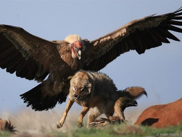 mixed species, condor and wolf via kathleen