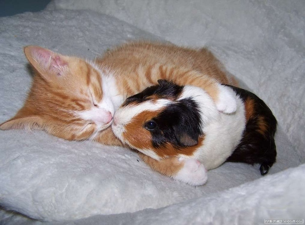 mixed species, kitten and guinea pig