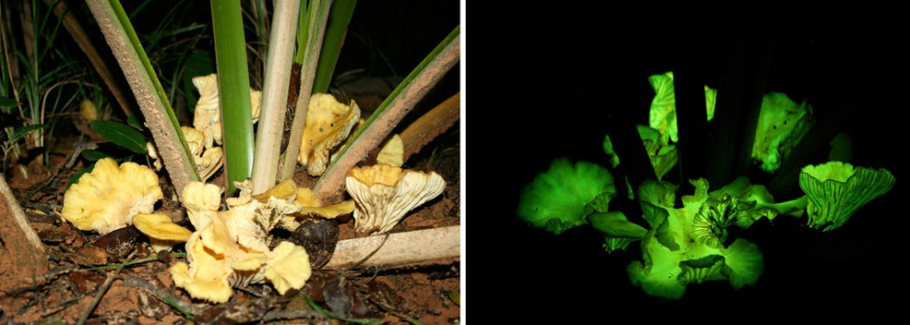 N. gardneri mushrooms grow at the base of young babassu palms in Brazil. A bland tan by day, the fungi emit an eerie green light by night.