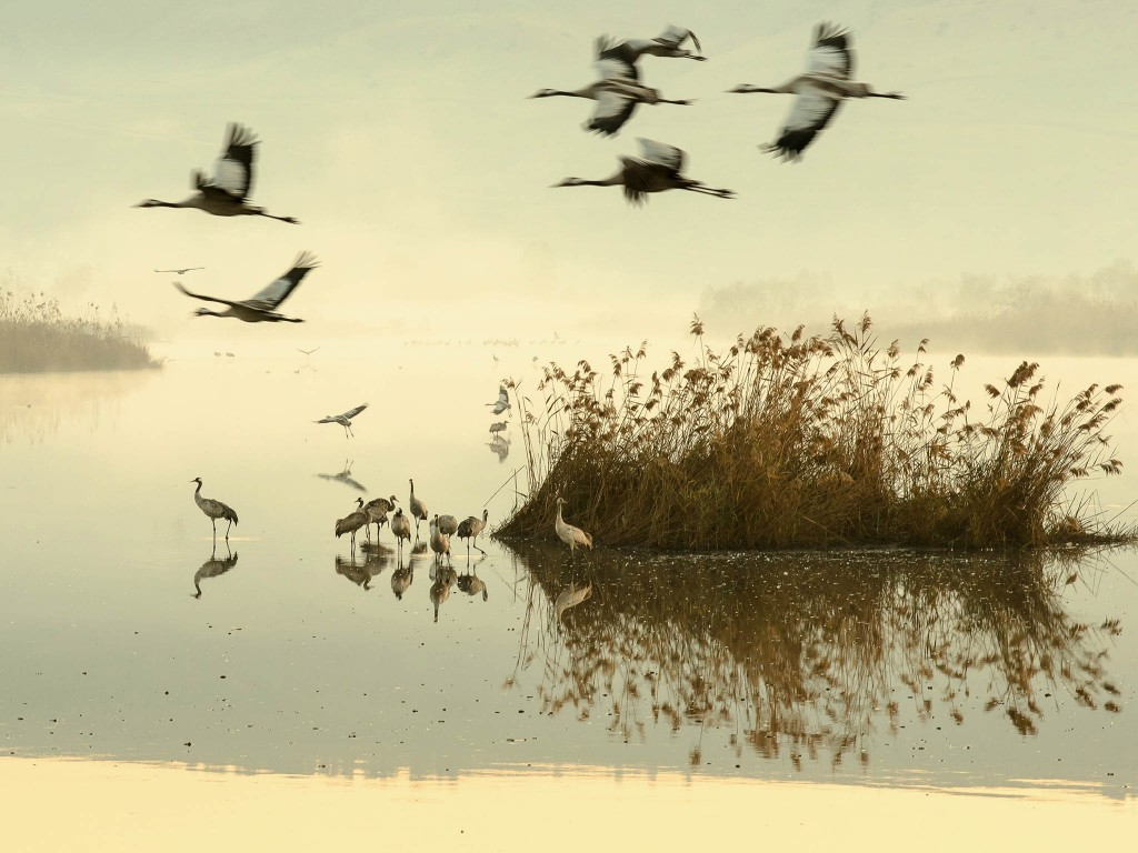 Cranes at Hula Valley nature reserve, Israel by Gal Gross
