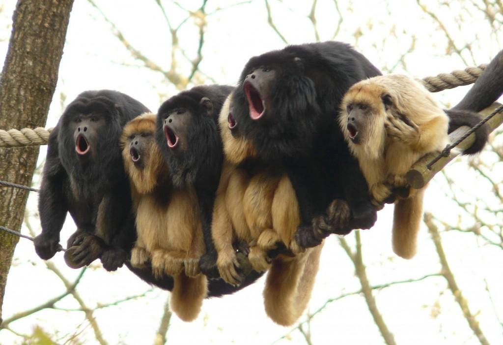 Gibbons singing together