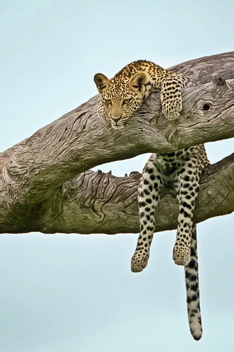 animals, leopard, susan bag