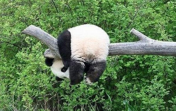animals, panda via drb