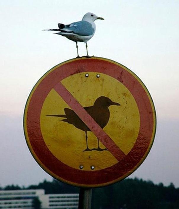 animals, pigeon