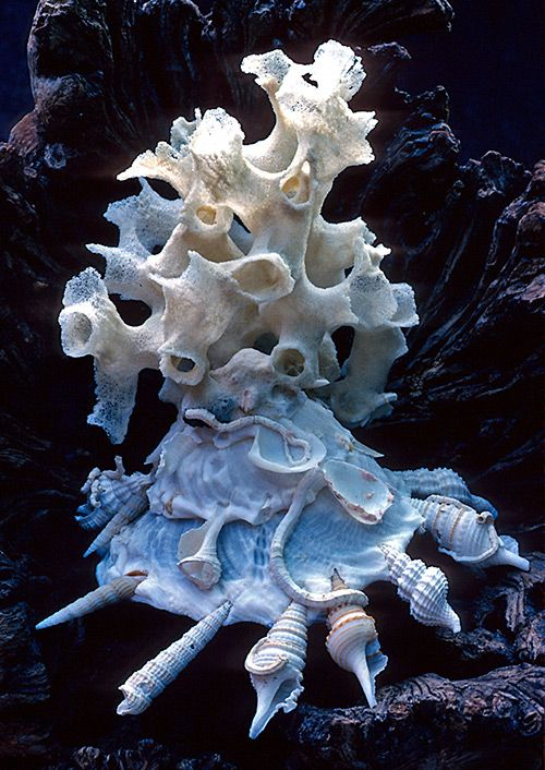 Xenophora, a marine snail commonly known as the carrier shell, attaches shells, rocks, and other debris from its environment.