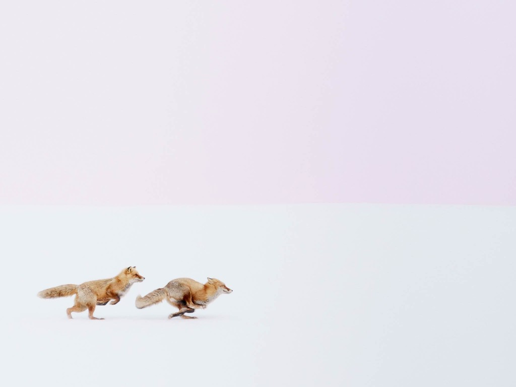 Red foxes racing on a snowy hill in Biei, a town in Hokkaido, Japan by Hiroki Inoue