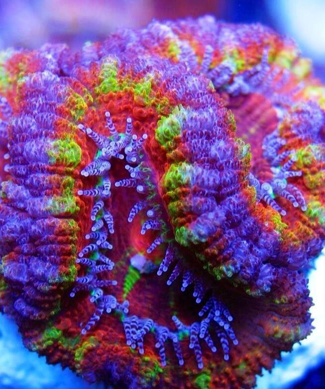 An Acan coral.