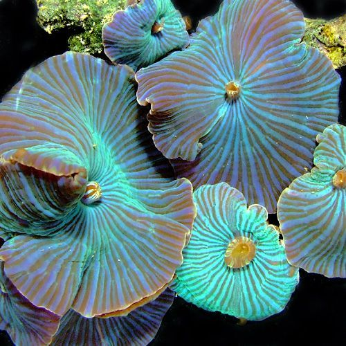 Blue Discosoma (mushroom coral)