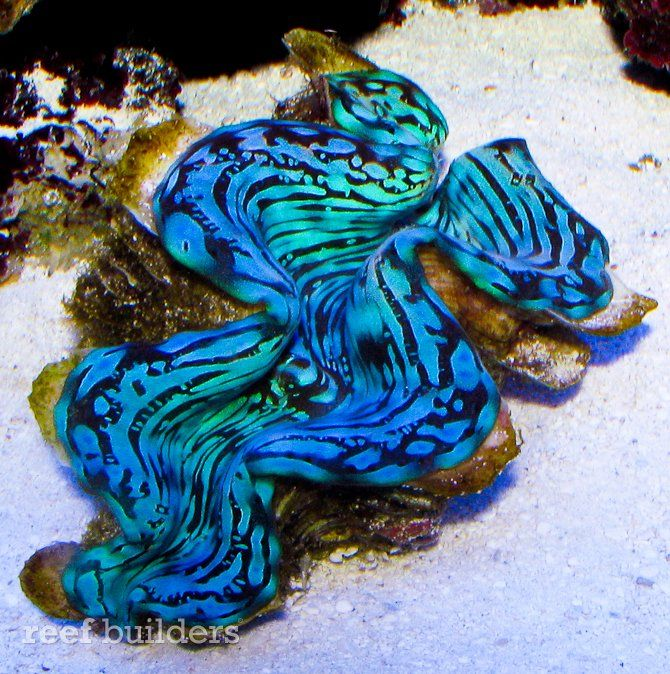 Blue Squamosa clams are among the rarest invertebrates.