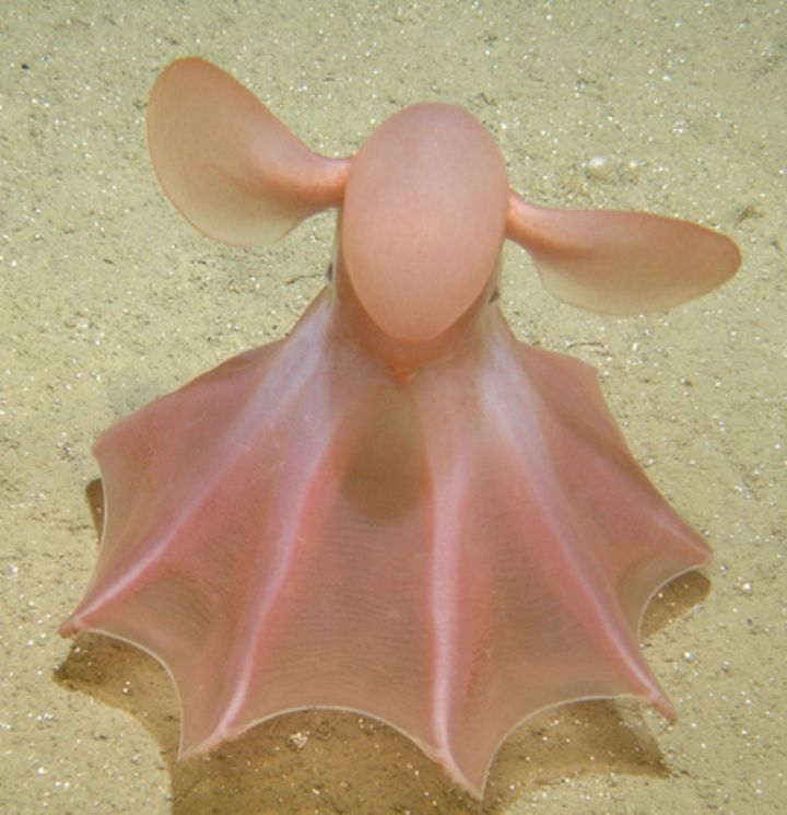 Cirrate octopod - or Dumbo Octopus -