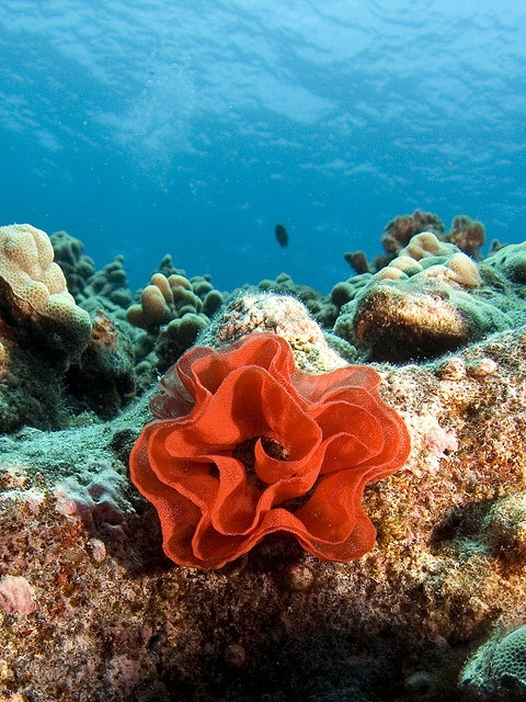 Egg coil of the Spanish Dancer, nudibranch, by bodiver