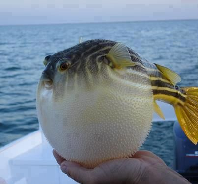 Golden Puffer fish Puffed up