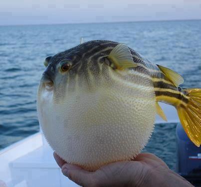Golden Puffer fish Puffed up