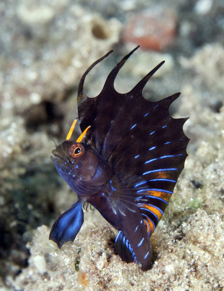 Male Signal Blenny, displaying. Why isn't this called a devil fish?