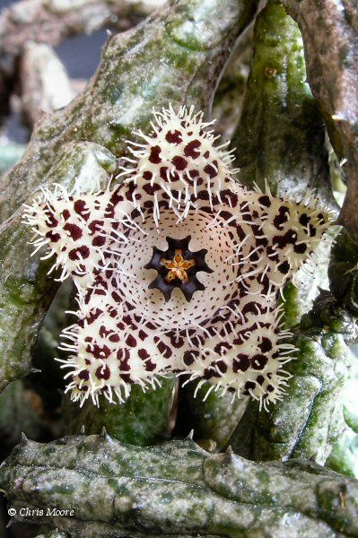 Stapelianthus madagascariensis by Chris Moore