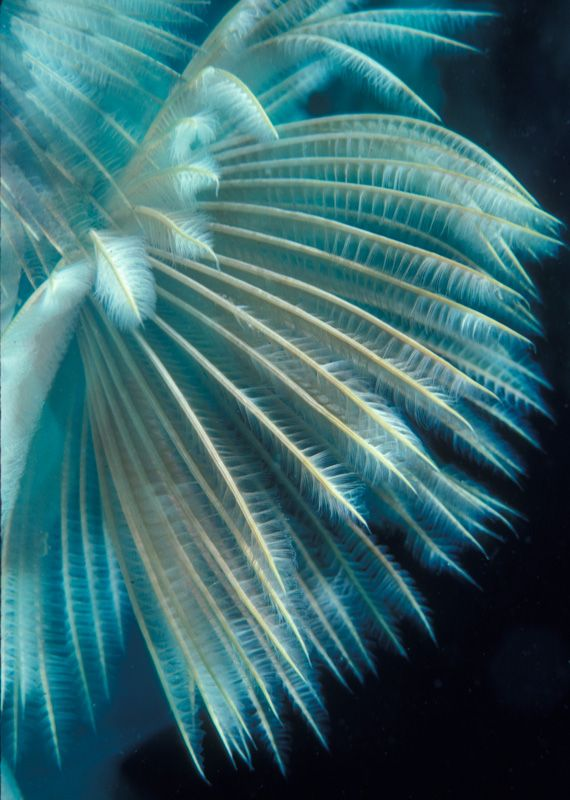 Turquoise Feather Duster Worms