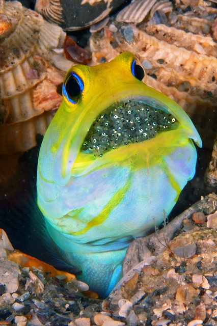 Yellowhead Jawfish with eggs - by Kevin Bryant