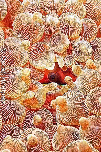 Sea anenome with a clownfish hiding.