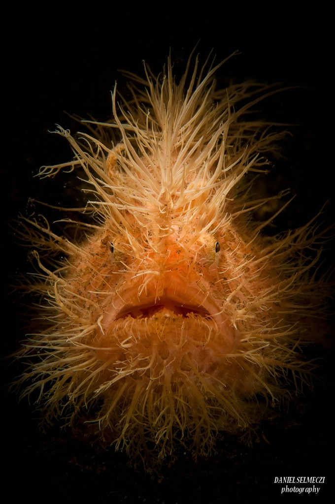 A Hairy frogfish, Lembeh, INDONESIA
