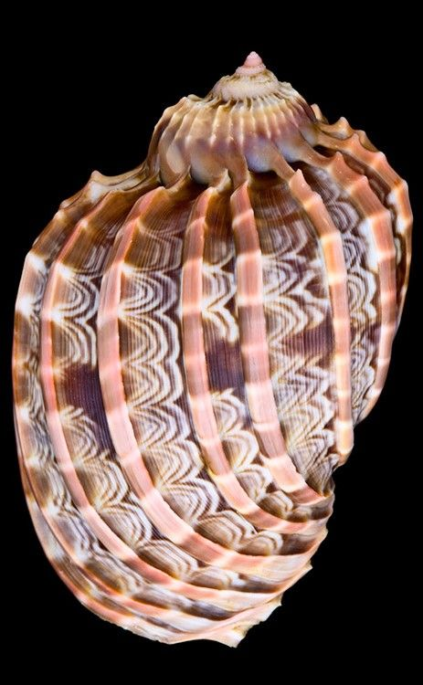 Fractal spirals in nature - Harpa Cabritti shell