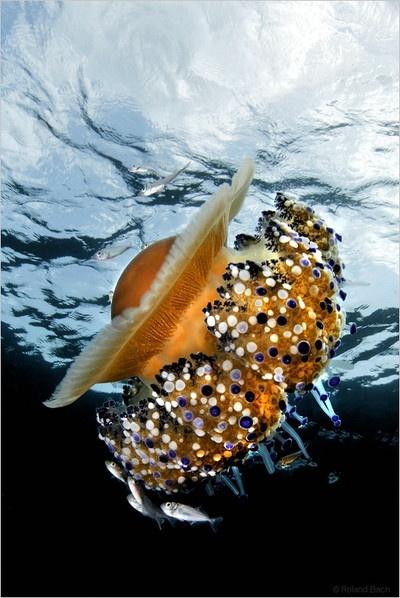 sea, jellyfish
