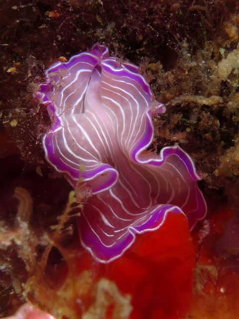sea, nudibranch or sea slug, by Rafael Cosme Daza on Flickr