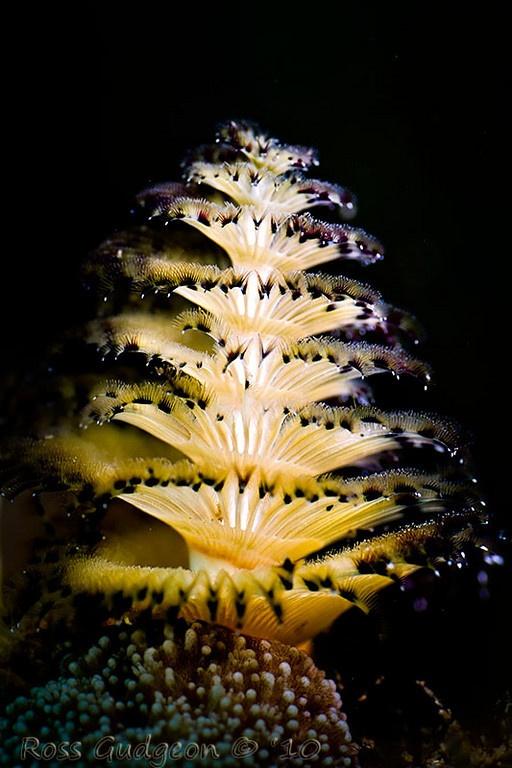 tubeworm - By Ross Gudgeon (Gudge's Photos)