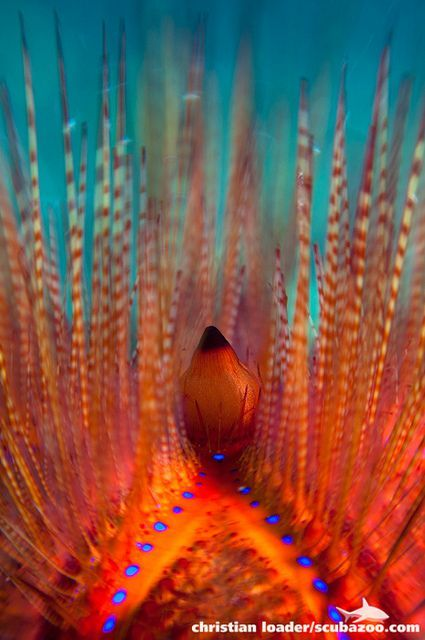 Sea urchin by christian loader on flickr