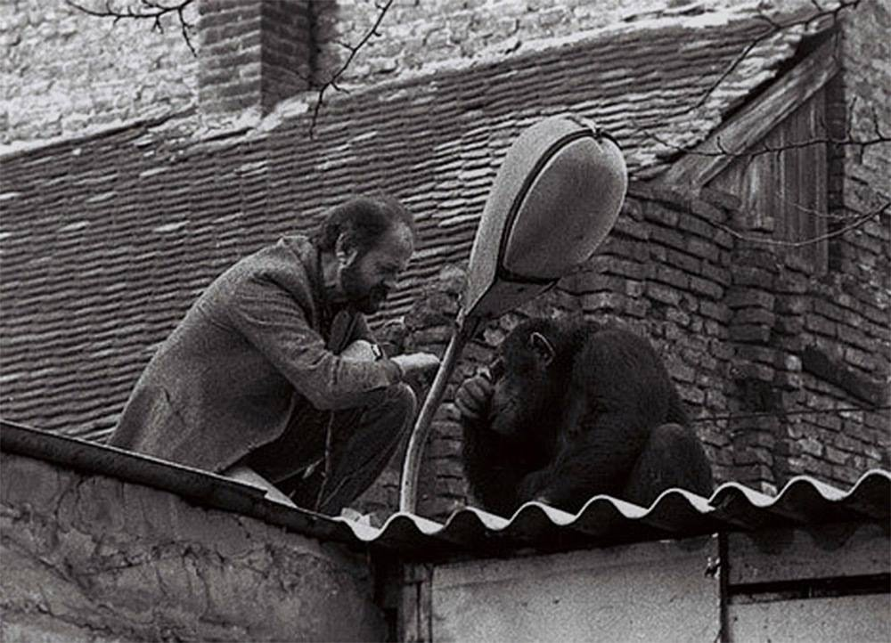 The director of the Belgrade Zoo tries to convince Sammy the chimpanzee to return home after he escaped, 1988.