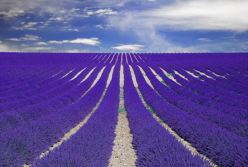 Another spectacular image of lavender in Provence, France