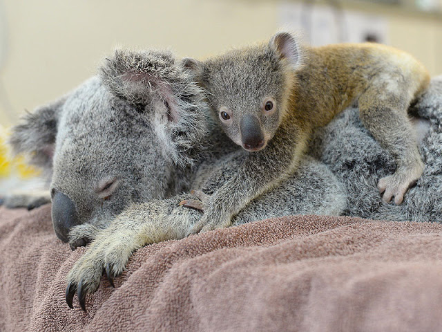 aaa, koala 2