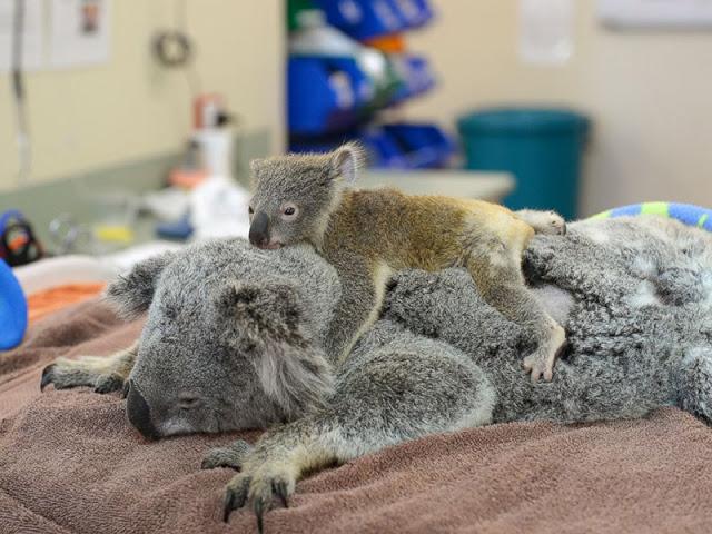 aaa, koala 3