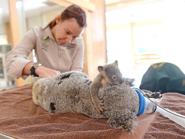 aaa, koala lizzy