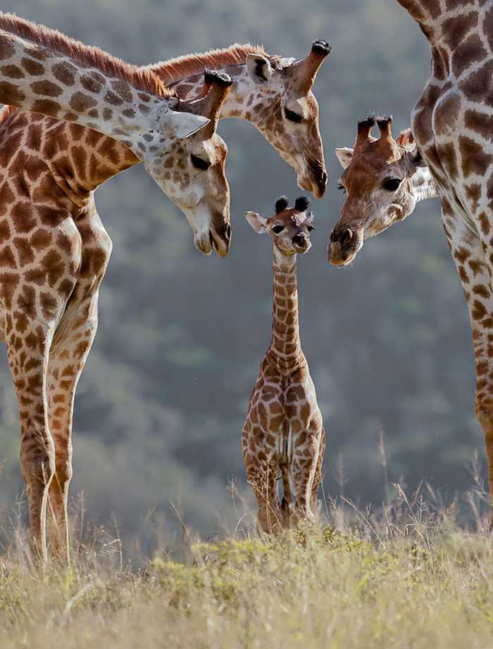 A group of giraffes is called a tower.