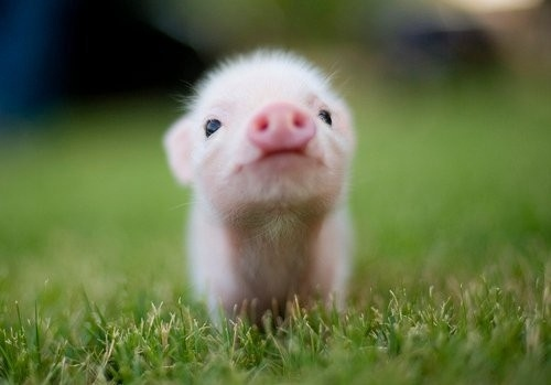 animals, baby pig