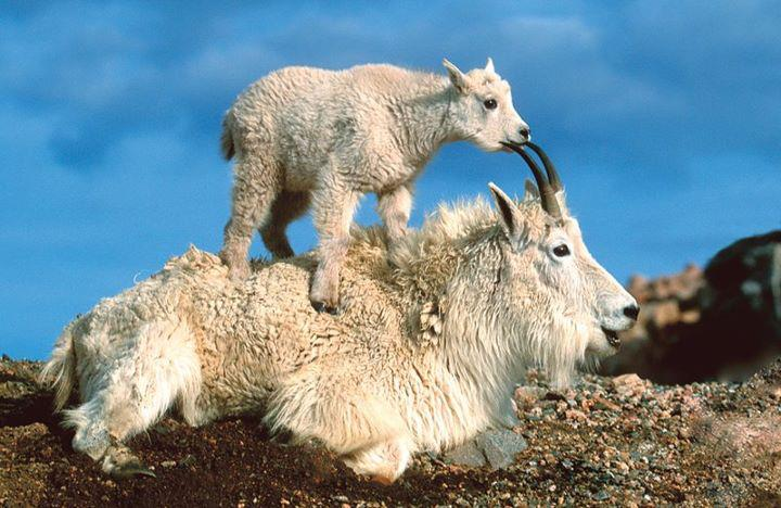 animals, goats from our beautiful world and universe