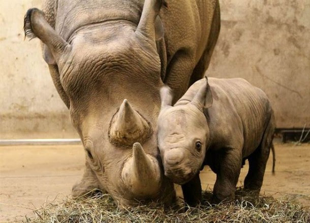 Even baby rhinos are cute.