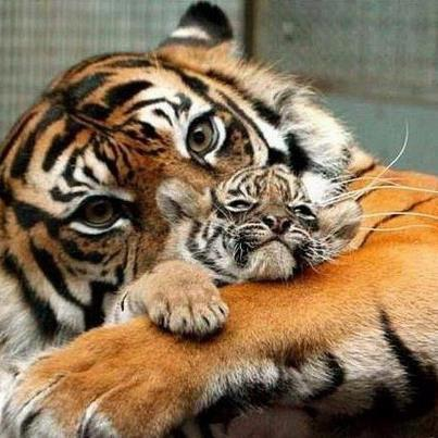 animals, tigers