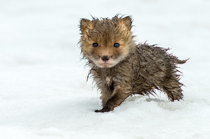 A wet baby fox