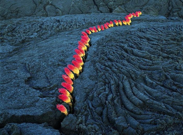 The color coming out of this lava crack has nothing to do with lava or fire. It's actually flowers called red hot poker-or-torch-lily