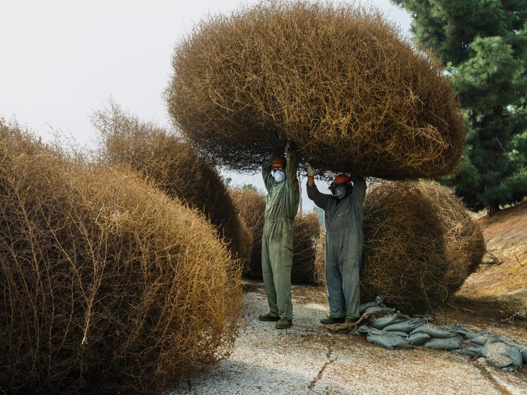 Tumbleweeds are actually invasive plants from Russia and are causing a lot of problems. The image is from California. Photograph by Diane Cook and Len Jenshel.
