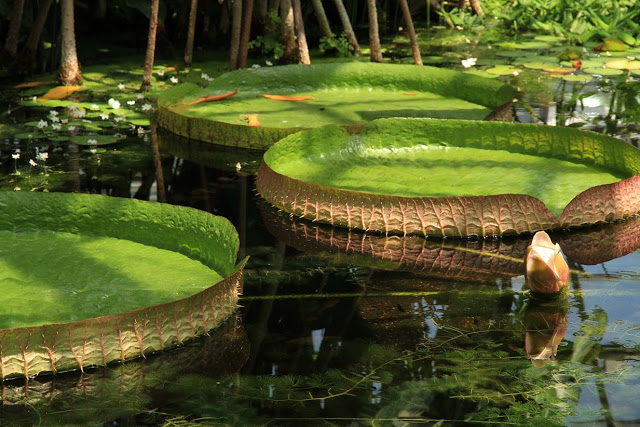 This tropical plant has very large floating leaves up to 3 meters or one yard in diameter and it is native to the shallow waters of the Amazon river basin.