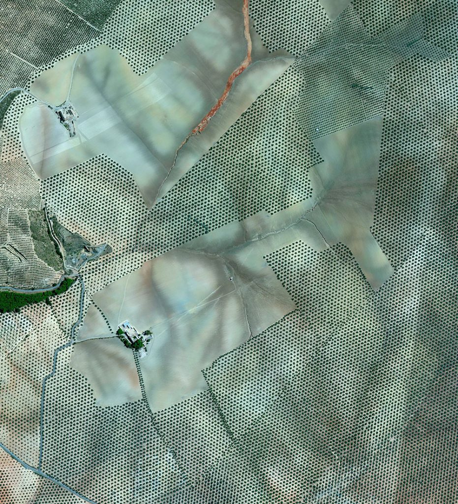 Olive tree groves covering the fills of Cordoba, Spain