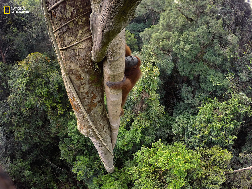 Tempted by a fig tree, a Borneun Orangutan climbs 100 feet. With males weighing as much as 200 pounds, orangutans are the world's largest tree-dwelling animal.