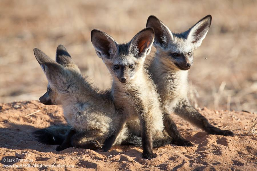 Bat-eared Fox, Kgalagadi Transfrontier Park in South Africa by Isak Pretorius.